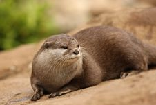 Oriental Short-Clawed Otter Royalty Free Stock Photos