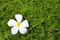 Free Frangipani Flowers On Green Grass Stock Photos - 25877103