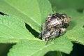 Free Black Tumblebug Stock Photos - 25882083