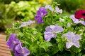 Free Petunias Royalty Free Stock Images - 25885499