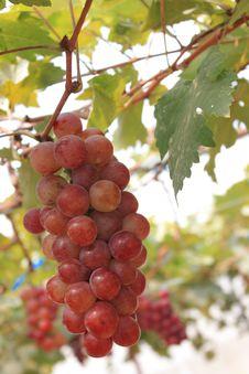 Free Muang Grapes Royalty Free Stock Images - 25883339