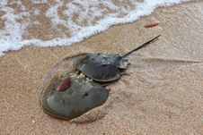 Free Two Horseshoe Crab Stock Photography - 25884182