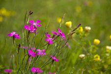 Dianthus Deltoides Stock Image