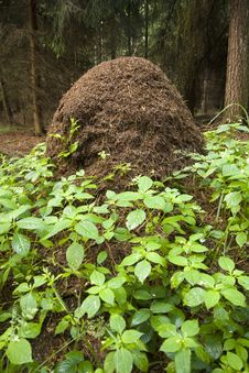 Free Anthill In Forest Royalty Free Stock Photo - 25885425