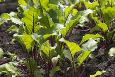 Free Young Beetroot Growing On The Vegetable Bed Stock Photos - 25885633