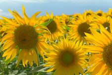 Free Sunflower Field On Blue Sky Stock Images - 25887904