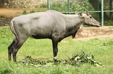 Free Wild Ox In Zoo Royalty Free Stock Image - 25889106