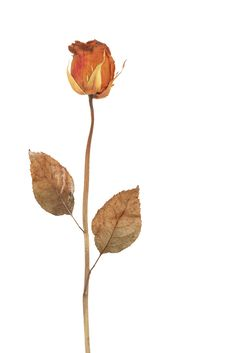 Free Dried Rose Stock Photo - 25889130