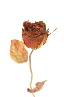 Free Dried Rose Royalty Free Stock Photography - 25889137