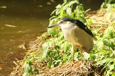 Free Black Crowned Heron Royalty Free Stock Photography - 25889307