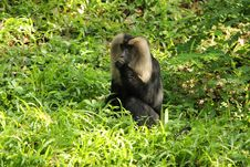 Free Macaque Royalty Free Stock Images - 25889659