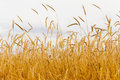 Free Golden Ears 2 Stock Photos - 25898633