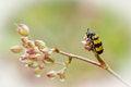 Free Macro Mylabris On Flower Stock Photos - 25898703