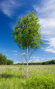 Free Couple Of Young Birches Royalty Free Stock Photo - 25899575