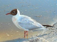 Free Black-headed Gull &x28;Chroicocephalus Ridibundus&x29; Stock Photo - 25890350