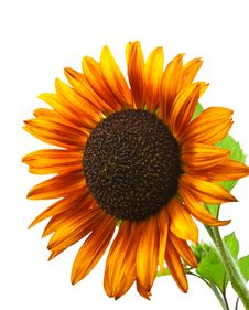 Free Sunflower. Royalty Free Stock Photography - 25892387