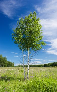Couple Of Young Birches Royalty Free Stock Photo