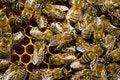 Free Bees On Honeycells Stock Photos - 2599143