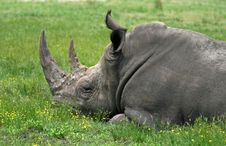 Free A Rhino Is Sleeping Royalty Free Stock Photo - 2590285