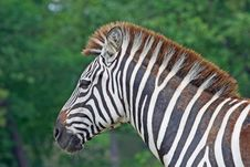 Free Zebra In A Safari Royalty Free Stock Images - 2590319