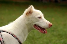Free White Dog Stock Image - 2590451