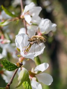 Free Honeybee On Cherry Flower Royalty Free Stock Photo - 2590875