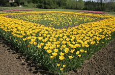 Free Flowerbed Of Tulips Stock Image - 2591671