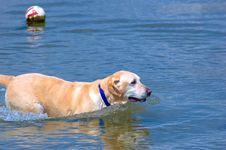 Playful Labrador Stock Photos