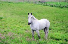 Free White Stallion In Pasture Stock Photography - 2592222