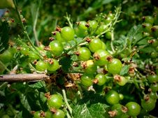 Free Gooseberries Royalty Free Stock Image - 2592406