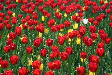 Free Red Tulips Royalty Free Stock Image - 2593656