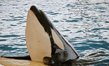 Free Orca Whale Royalty Free Stock Image - 2593696