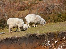 Free Two Sheeps Royalty Free Stock Photography - 2593827