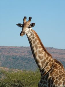 Free Giraffe Stock Images - 2594074