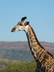 Free Giraffe Royalty Free Stock Photos - 2594108