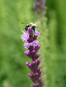 Free Busy Bee Stock Photo - 2595150