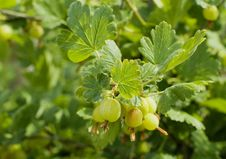 Free GOOSEBERRY Royalty Free Stock Photography - 2595217