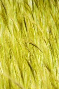Free Spikelets To Be Harvested Royalty Free Stock Photo - 2595395