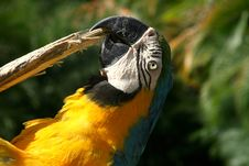 Free Macaws Royalty Free Stock Photography - 2595797