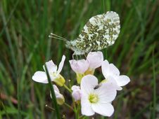 Free Orange Tip Butterfly Stock Photo - 2597120