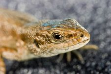 Free Lizard Portrait Stock Photography - 2597362