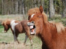 Free Icelandic Laughing Horse Stock Photos - 2598843