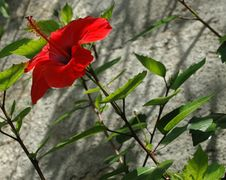 Free Hibiscus Flower Stock Photography - 2598932