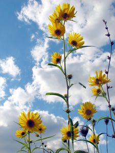 Free Sunflowers In The Breeze Royalty Free Stock Image - 2599096