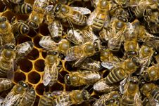 Free Bees On Honeycells Stock Photos - 2599143