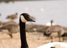 Free Closeup Of Brant Goose Stock Image - 2599901