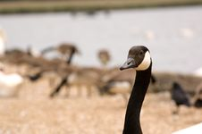 Free Closeup Of Brant Goose Royalty Free Stock Image - 2599936