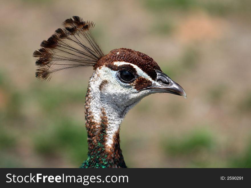 A female peacock close-up
