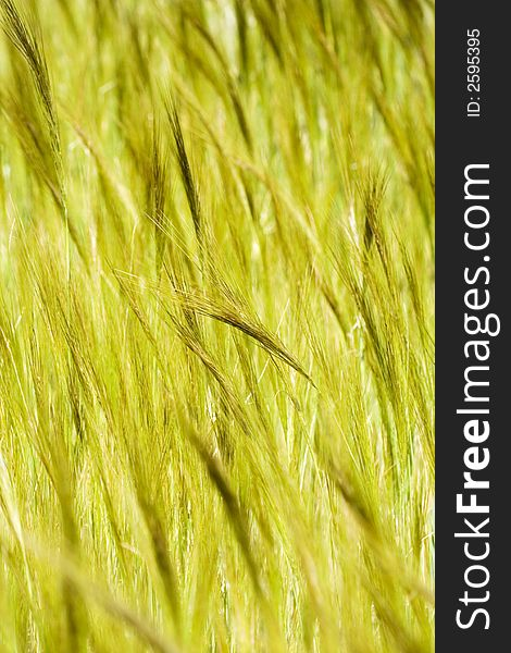 Spikelets to be harvested