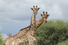 Free Giraffes - Who Are You  Stock Photography - 25902702